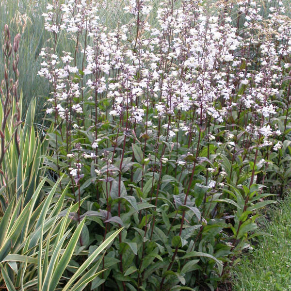 Penstemon 'Husker Red' Beardtongue