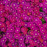 Delosperma GRANITA® Raspberry
