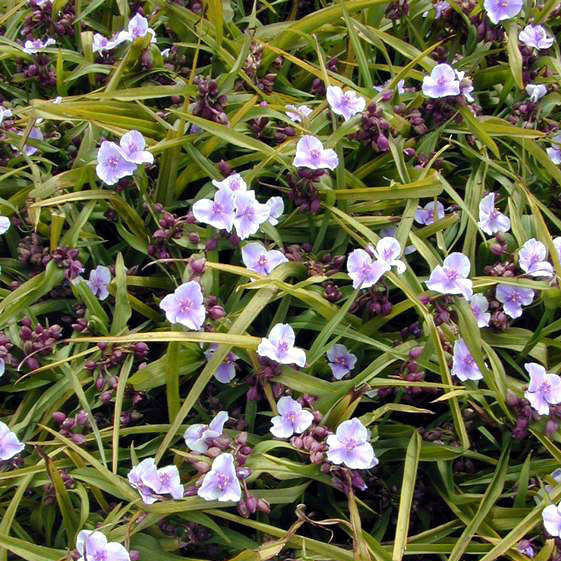 Tradescantia 'Bilberry Ice' Spiderwort