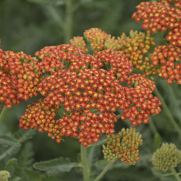 Achillea 'Sassy Summer Sunset' Yarrow