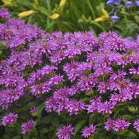Monarda 'Lilac Lollipop'