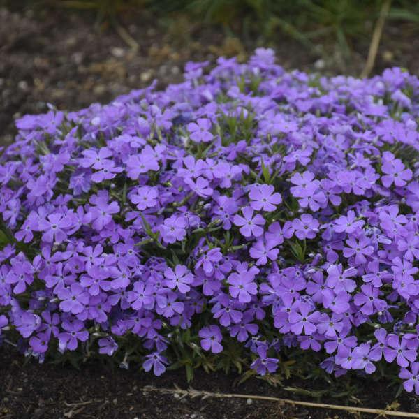 Phlox 'Crater Lake' Hybrid Spring Phlox