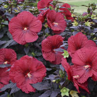 Hibiscus 'Holy Grail'