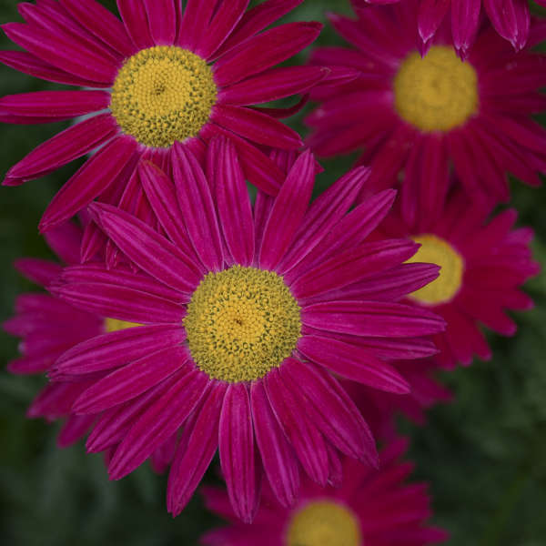 Tanacetum 'Robinson's Red' Painted Daisy