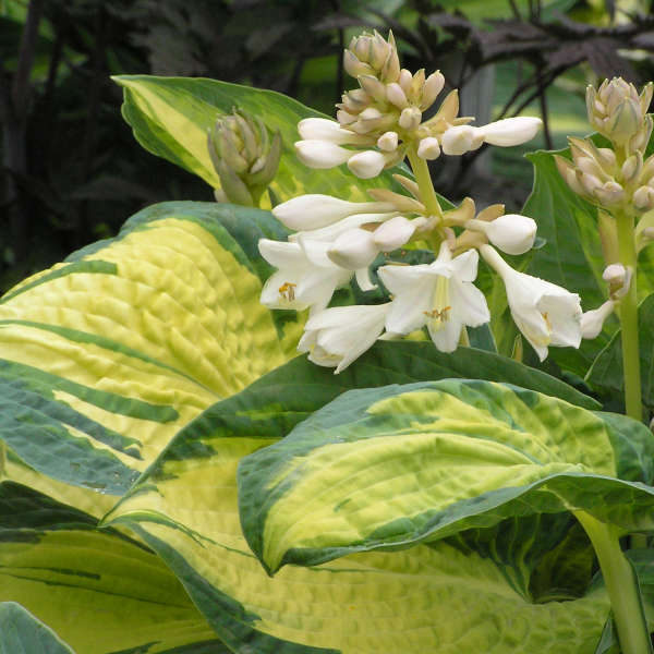 Hosta 'Great Expectations' Hosta