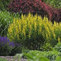 Baptisia 'Lemon Meringue'