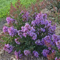 Lagerstroemia 'Bubble Tea'