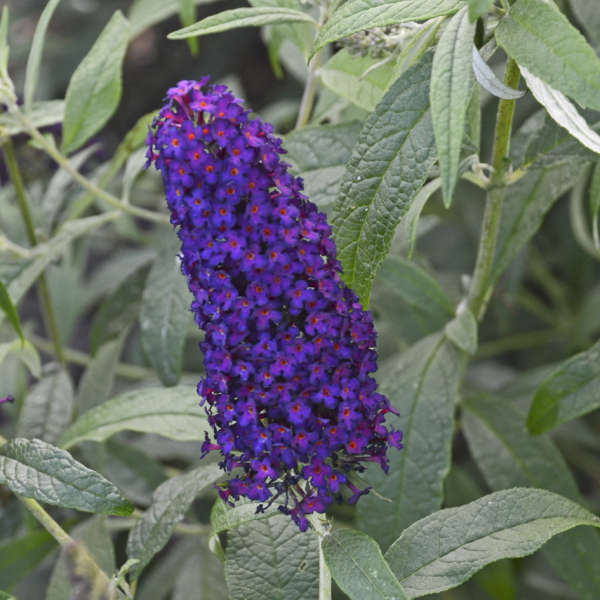Buddleia 'Dark Dynasty' Butterfly Bush