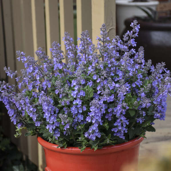 Nepeta 'Picture Purrfect' Catmint