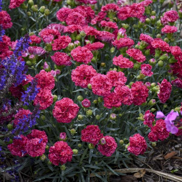 Dianthus 'Raspberry Ruffles' Pinks