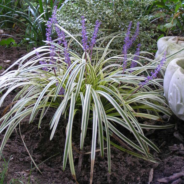 Liriope Muscari Silvery Sunproof Perennial Resource