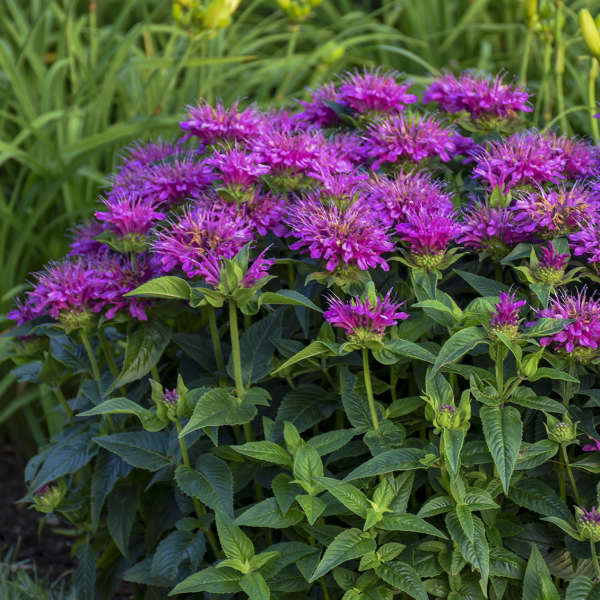 Monarda 'Pardon My Purple' Bee Balm