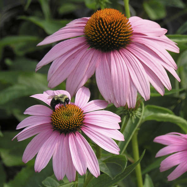 Echinacea 'Magnus' Purple Coneflower