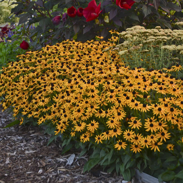 Rudbeckia 'Little Goldstar' Black-Eyed Susan