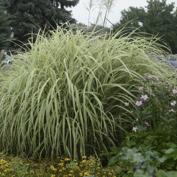 Miscanthus 'Dixieland' Ornamental Grass