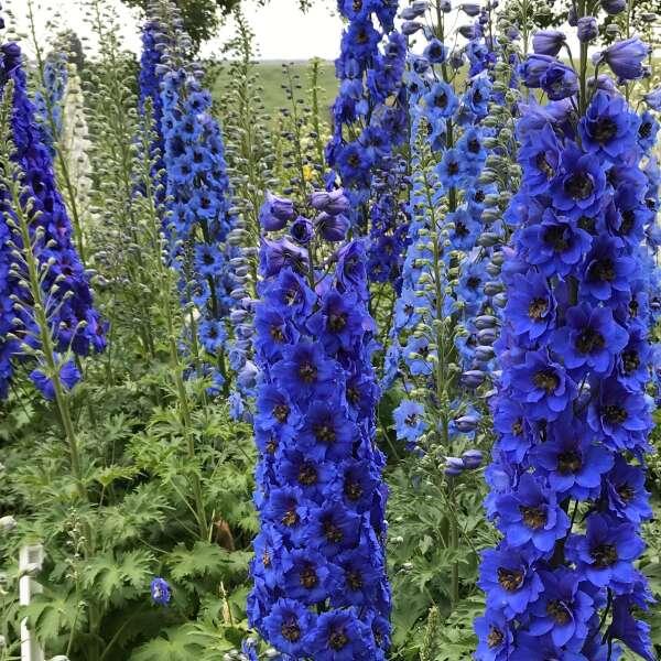 Delphinium 'Blue Buccaneers' Hybrid Bee Delhpinium