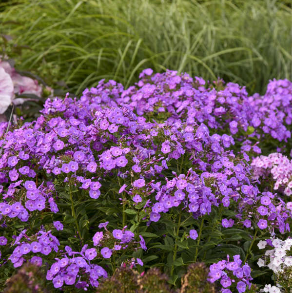 Phlox 'Cover Girl' Tall Garden Phlox