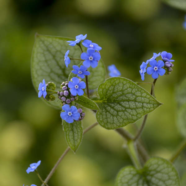 Brunnera 'Queen of Hearts' Heartleaf Brunnera