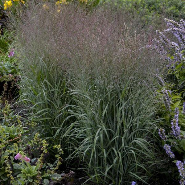 Panicum 'Apache Rose' Switch Grass