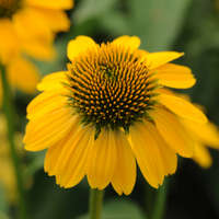 Echinacea SOMBRERO&#174 LEMON YELLOW