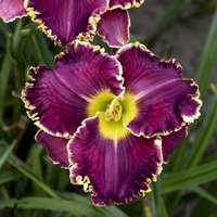 Hemerocallis 'Cosmic Struggle'