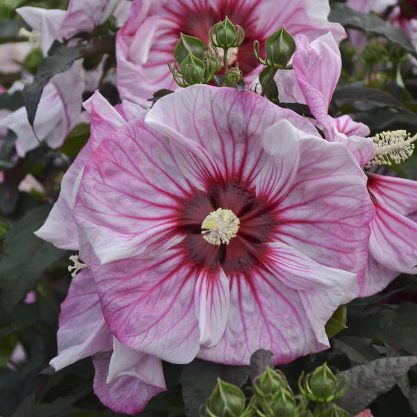 Hibiscus 'Cherry Choco Latte' Rose Mallow