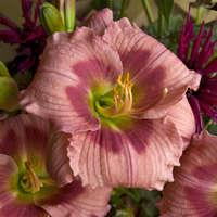 Hemerocallis 'Rose Katherine'