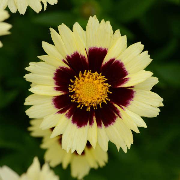 Coreopsis UPTICK&#8482 Cream & Red Tickseed