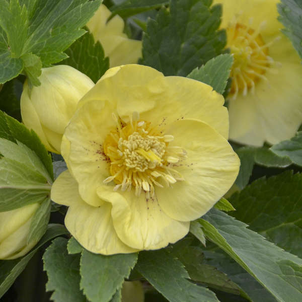 Growing Hellebores Those Lovely Harbingers Of Spring: Helleborus 'California Dreaming'