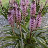 Eucomis 'African Night'