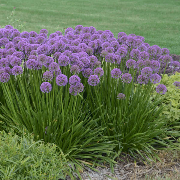 Allium 'Millenium' Ornamental Onion