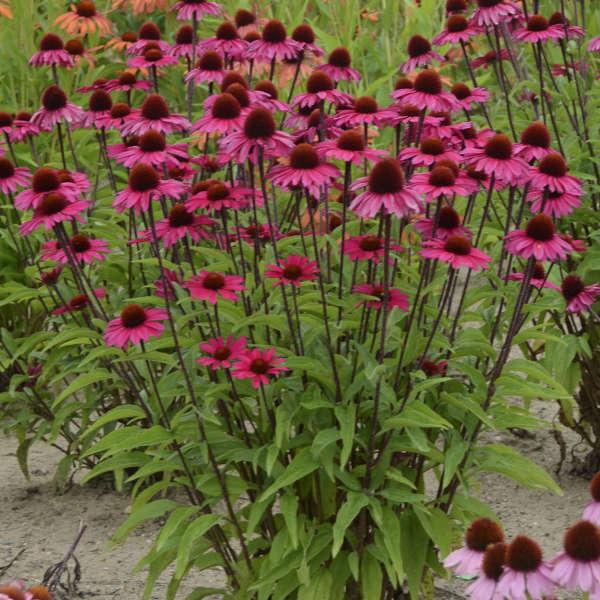 Echinacea sensation pink pp26593 perennial resource echinacea sensation pink purple coneflower mightylinksfo