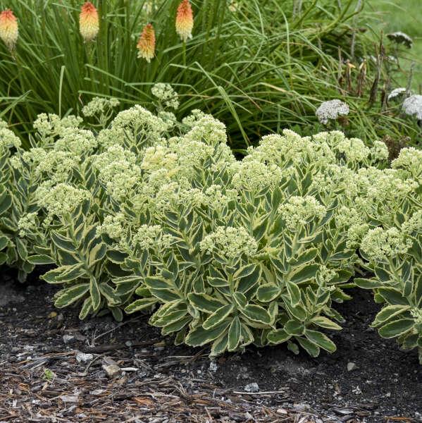 Sedum 'Frosted Fire' Autumn Stonecrop