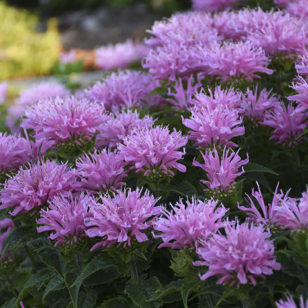 Monarda 'Pink Frosting' Bee Balm