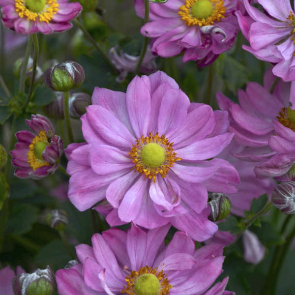 Anemone 'Curtain Call Pink' Japanese Anemone