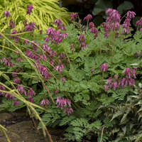 Dicentra 'Luxuriant'