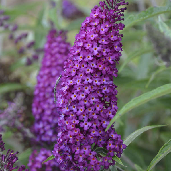 Buddleia 'Magenta Munchkin' Butterfly Bush