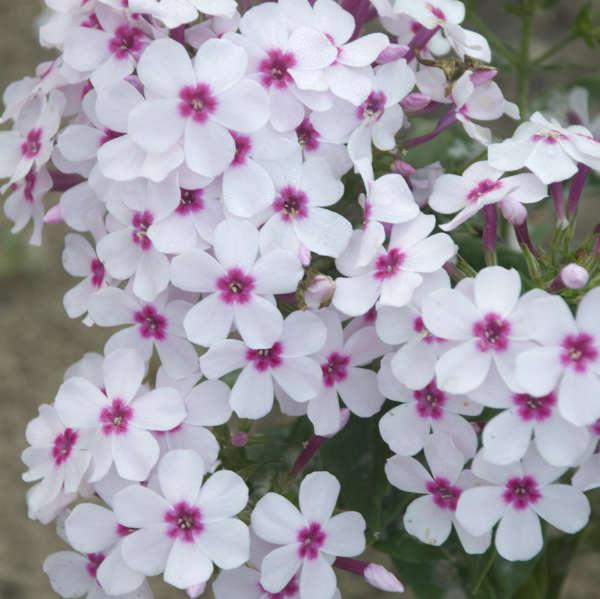 Phlox FLAME™ Series White Eye Tall Garden Phlox