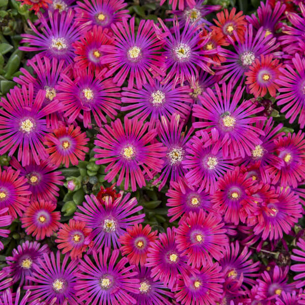 Delosperma GRANITA® Raspberry Hardy Ice Plant