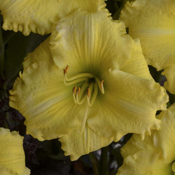 Hemerocallis 'Omomuki' Daylily
