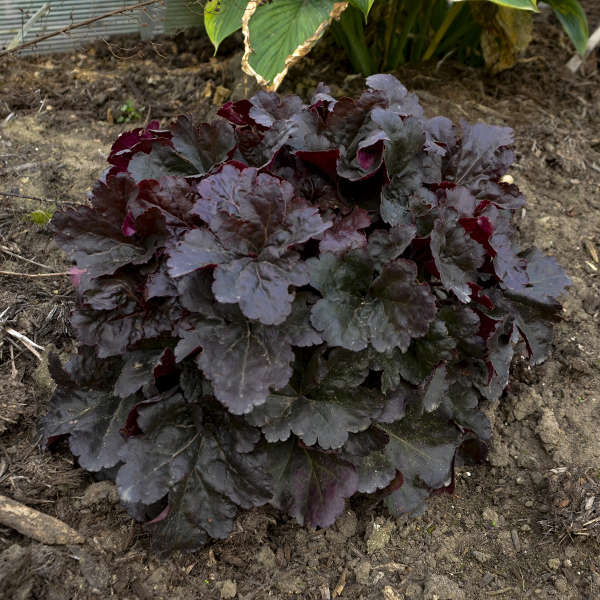 Heuchera 'Mahogany Monster' Coral Bells