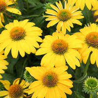 Echinacea SOMBRERO® LEMON YELLOW IMPROVED