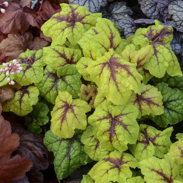 Heucherella 'Catching Fire' Foamy Bells