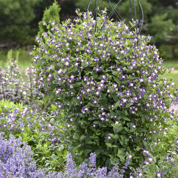 Clematis 'Violet Stardust' Bush Clematis