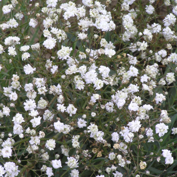 Gypsophila 'Perfecta' Baby's Breath