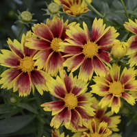 Coreopsis 'Enchanted Eve'