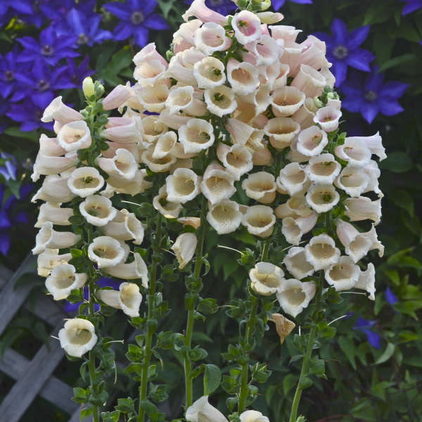 Digitalis 'Dalmatian Peach' Common Foxglove