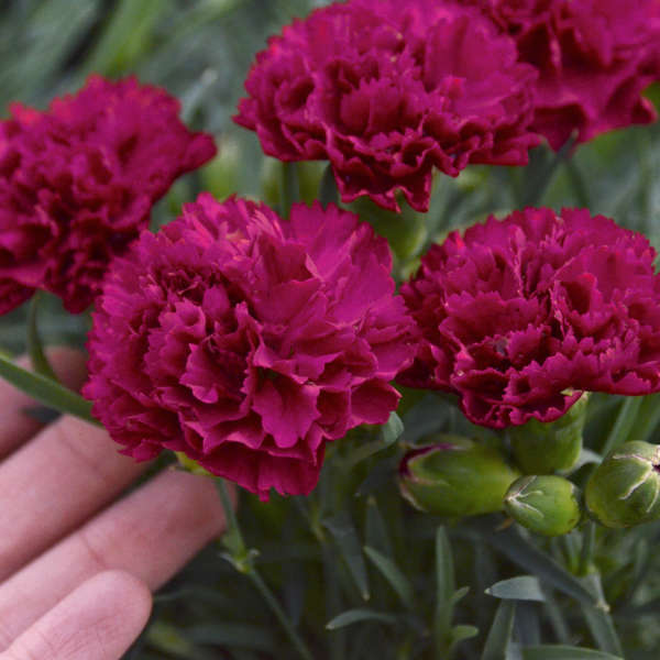 Dianthus 'Cranberry Cocktail' Pinks