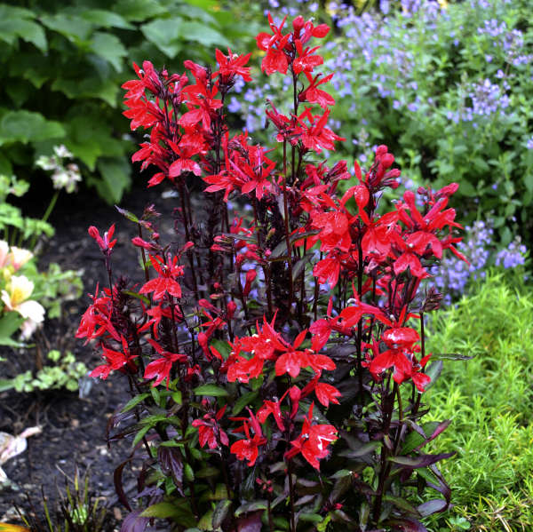 Lobelia Speciosa Starship Scarlet Walters Gardens Inc