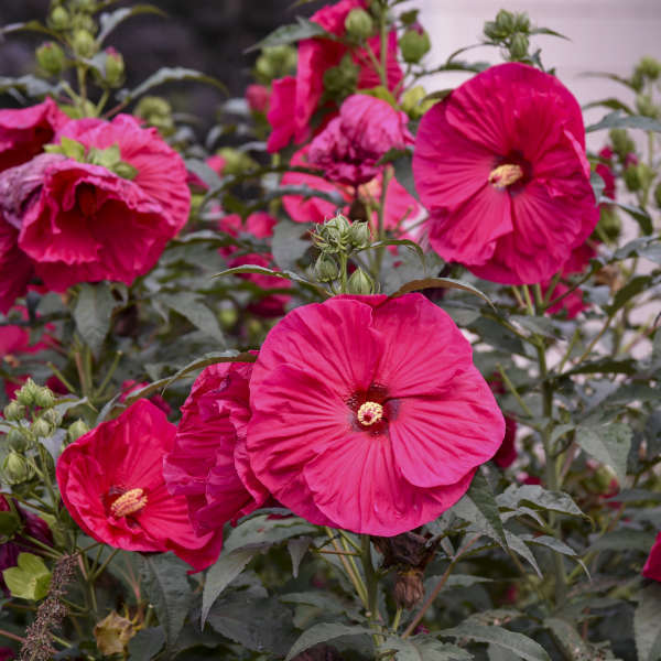 Hibiscus 'Summer in Paradise' Rose Mallow